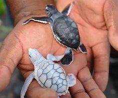 """""""Hand-Held Turtle Hatchlings."""""""