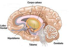 O sistema nervoso central é formado pelo encéfalo e pela medula espinhal