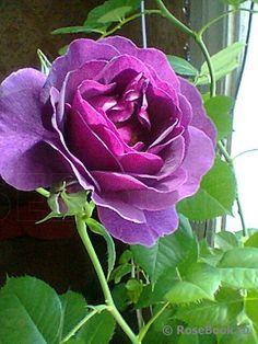 Фотографии Цветов, Красивые Розы, Фиолетовый Сад, Фиолетовые Розы, Посадка Цветов, Цветочные Композиции, Тюльпаны, Цветы, Красота