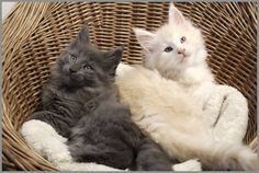 Maine Coon kitties. You can tell by the shape of the face and the ear tufts.
