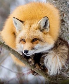 Red Fox Keeping an Eye Out From a Tree Branch.