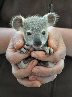 Just a little baby Koala