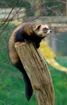 """""""The European polecat (Mustela putorius) — also known as the black or forest polecat (as well as a host of other names) — is a species of mustelid native to western Eurasia and North Africa. It is much less territorial than other mustelids, with animals of the same sex frequently sharing home ranges. The European polecat is the sole ancestor of the ferret, which was domesticated more than 2000 years ago for the purpose of hunting vermin."""" (wiki) DH All. V"""