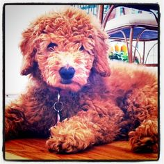 I want a #goldendoodle! Cutest #dog ever.