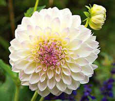 Shade Flowers, Cut Flowers, Flower Garden Images, Flower Room Decor, White Flower Farm, Zinnias, Dahlias, Lilacs, Dahlia Flower