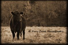Black Angus Cow 16x24 Fine Art Photograph by PonyCreekPhotography on Etsy
