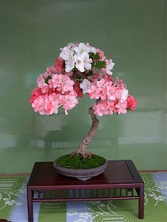 Having come from a background of growing most species of bonsai and with special knowledge of Australian Natives as bonsai, is now deeply involved in growing Satsuki. Description from members.iinet.net.au. I searched for this on bing.com/images
