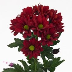 Chrysant spr. Barolo is a multi-headed Red cut flower. Approx. 70cm & wholesaled in Batches of 10 stems. A superb flower with endless possibilities in floristry.