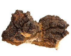 There's a new treatment for cancer and it's neither plant nor animal. Chaga (inonotus obliquus) is a wood-rotting mushroom that grows on birch trees. Strangely, it is said to have a DNA structure that is more human than plant! Natural Cancer Cures, Natural Cures, Natural Health, Brain Healthy Foods, Cancer Fighting Foods, Cancer Treatment, Dns, Herbal Medicine, Chinese Medicine