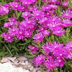 Rock Garden Plants, Dry Garden, Planting Succulents, Planting Flowers, Purple Perennials, Hardy Perennials, Flowers Perennials, Perennial Ground Cover, Ground Cover Plants