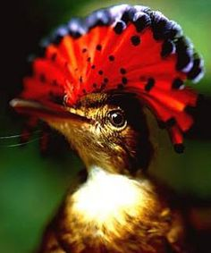 wildlife discoveries: The Amazonian Royal Flycatcher