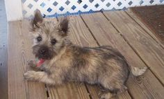 Cairn Terrier. Reminds me of my Dottie-dog when she was a puppy. Miss her <3