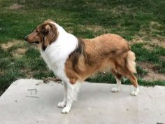 Rory, a lovely old-fashioned Collie. Collie Mix, Rough Collie, English Shepherd, Australian Shepherd, Welsh Sheepdog, Scotch Collie, Sheltie, Inu, Dream Life
