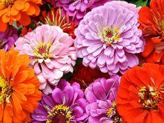 2014-06-28-11.13.53.jpg-zinnias-picmonkey.jpg-640x480-640x480.jpg