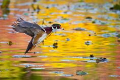 Wood duck landing in autumn - this photo won first place in the Tualatin River National Wildlife Refuge's contest.  via http://ericvogt.blogspot.com/2011/11/blogs-back.html