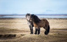 """legendary-scholar: """" Taken on a trip through Iceland. These little pony-sized horses are found more or less all over Iceland. Icelandic horses are long-lived and hardy, but not shy at all. Horse Wallpaper, Animal Wallpaper, 3840x2160 Wallpaper, Cavalo Wallpaper, Horse Background, Animals And Pets, Cute Animals, Horse Posters, Icelandic Horse"""