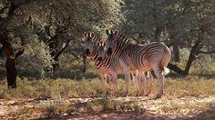 Zebras - watching you!
