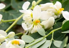 The Moringa Tree is one of the most nutrient-rich plants in the world. When it comes to moringa benefits there are almost too many to count! Moringa Benefits, Miracle Tree, Moringa Powder, Fun Fact Friday, Flower Tea, Perennials, Roots, The Cure, Things To Come