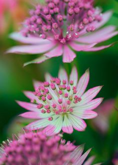 ~~Astrantia by toddvic~~