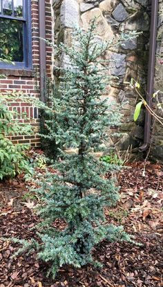 Cedrus atlantica 'Horstmann In ten years (HxW): x Dwarf cultiv Garden Shrubs, Landscaping Plants, Front Yard Landscaping, Landscaping Ideas, Evergreen Landscape, Evergreen Garden, Dwarf Trees, Trees And Shrubs, Dwarf Evergreen Trees