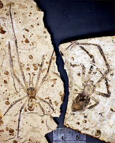 """First, it is an amazing spider,"" says Paul Selden, professor of invertebrate paleontology with the department of geology at the University of Kansas. ""It's the largest fossil spider"