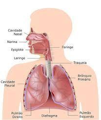 Resultado de imagen para sistema respiratorio