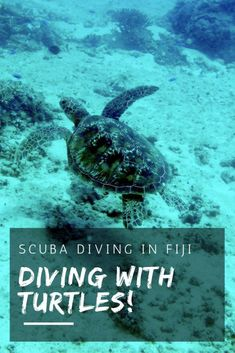 There are so many wonderful dive sites around the Fiji Islands - and if you're lucky enough to go scuba diving in Fiji, you might just spot a turtle. | Fiji Islands Culture + Travel Tips