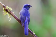 Large Niltava (Male) - by Cyrus Low 500px