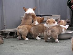 """Find out more details on """"corgi pups"""". Visit our web site. Baby Corgi, Corgi Dog, Corgi Funny, Funny Dogs, Cute Puppies, Cute Dogs, Teacup Puppies, Baby Animals, Cute Animals"""