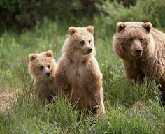 Denali Park Animals | Yellow Stone National Park Grizzly Bear » Grizzly Bear / Grizzlybaer