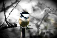 Little Fluffy Birdie by MythicFX