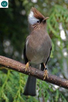 White-collared Yuhina (Yuhina diademata) - #birds