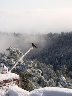 Broad-tailed Hummingbird in the snow...