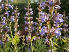 #Grün #Garten #violett #Salbei #Natur