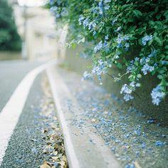 Beautiful blue blossoms