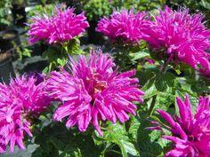 Monarda 'Petite Delight', Bee balm, sun