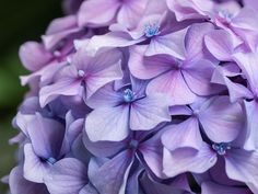 Growing Hydrangeas in Texas – Plants for All Seasons Hydrangea Varieties, Hydrangea Bloom, Hydrangea Garden, Compost, White Magic Spells, Texas Plants, Free To Use Images, Tree Shapes, Garden Items