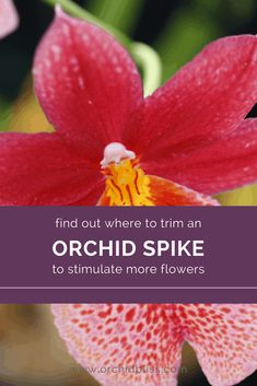 Where to Cut the Orchid Flower Spike for More Flowers - Orchid Bliss Indoor Orchids, Orchids Garden, Garden Plants, Indoor Plants, House Plants, Roses Garden, Fruit Garden, Potted Plants, Indoor Garden