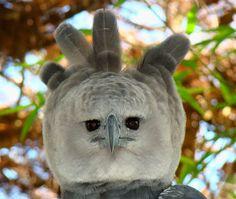 Harpy Eagle (© Bjørn Christian Tørrissen)