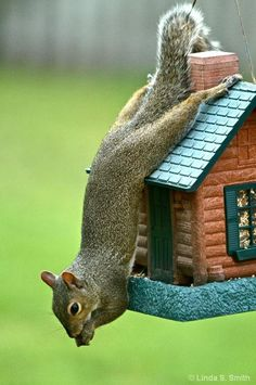 Where there's a will there's a way, photograph of squirrel by Linda S. Smith - Pixdaus