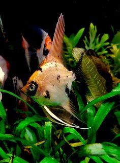 Tropical Aquarium, Tropical Fish, All Gods Creatures, Sea Creatures, Cool Fish, Freshwater Aquarium Fish, Aquarium Design, Underwater Creatures, Marine Fish