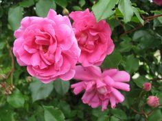 Mmme Solvay est un vigoureux rosier liane,  somptueux et continuellement fleuri de mai aux gelées. Réunies en grappes, ses fleurs  forment des jupons échevelés, rose carminé,évoluant vers le vieux rose à la défloraison. Nombreuses, posées comme des bijoux, elles ressortent sur un feuillage sain, très résistant aux maladies. L'association avec une liane blanche est superbe. Hybride moderne. André Eve, 1992.