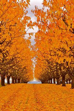 Herbst in der Kirschenanlage by andreas.thomet, via Flickr