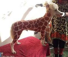 Giraffe Poodle, love it, I also seen a zebra