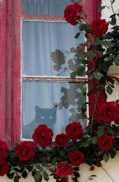 Oh my goodness, this pic of black cat in window with red roses would make an awesome painting! Cat Window, Window View, Window Boxes, Window Ideas, Old Windows, Windows And Doors, Red Cottage, Looking Out The Window, Foto Art