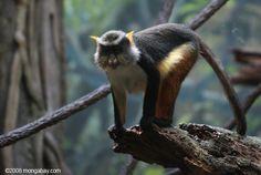 Wolf's Mona Monkey (Cercopithecus wolfi)
