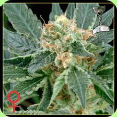 Greenhouse Seeds - A.M.S (Feminised)