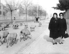 Dos señoras pasean por Príncipe de Vergara al paso de un rebaño de ovejas (c. 1955)