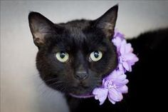 Thelma is an adoptable Domestic Short Hair Cat in Napa, CA. HI -- I am Thelma. I am a shy lady with a BIG heart that wants to give. When I am comfy with you, I even get right up close and gaze at you ...