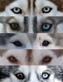 The eyes of Siberian Huskies.